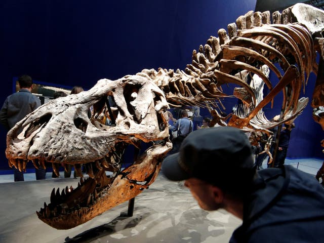<p>A 67 million year-old skeleton of a Tyrannosaurus rex pictured at the French National Museum of Natural History in Paris in 2018</p>