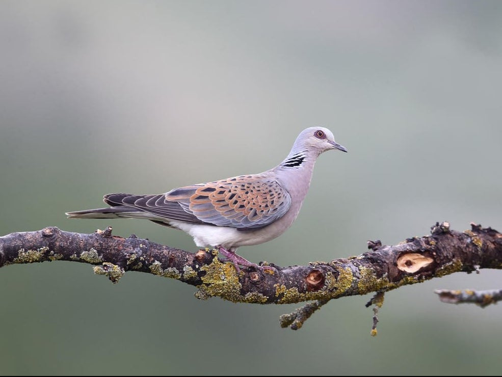 Italy allows hunters to shoot 7.5m rare turtle doves: 'This will accelerate decline until no birds are left'