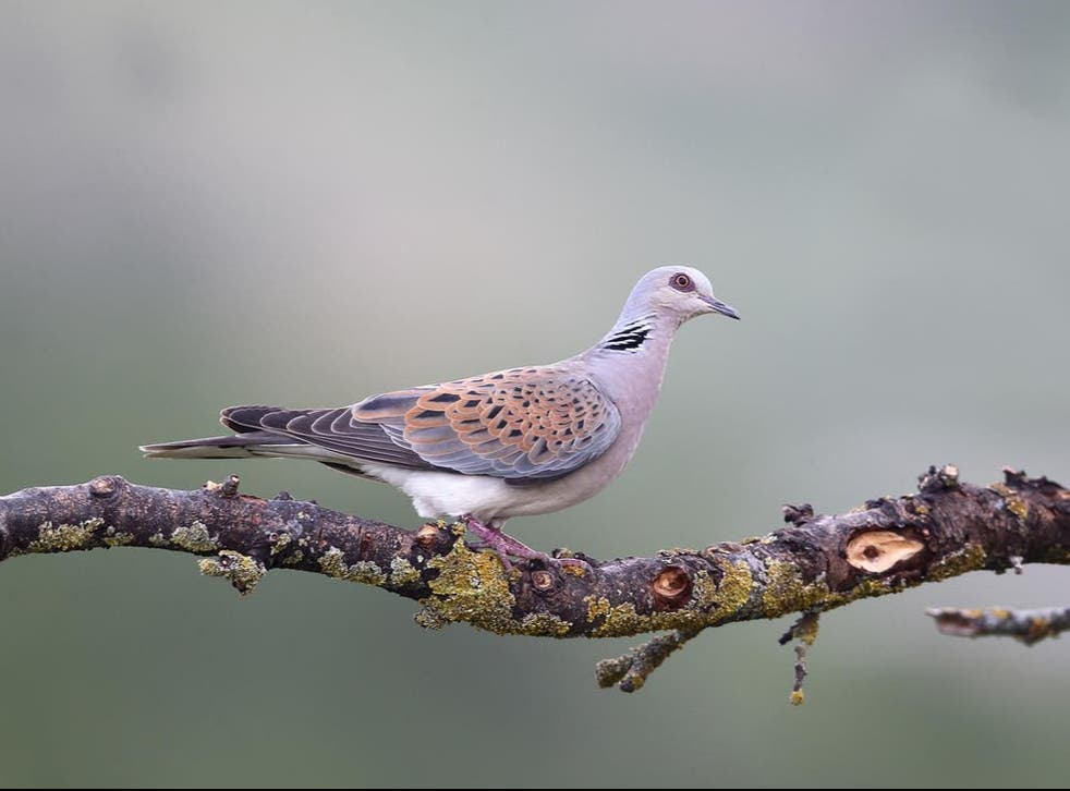 A European turtle dove sits on a branch