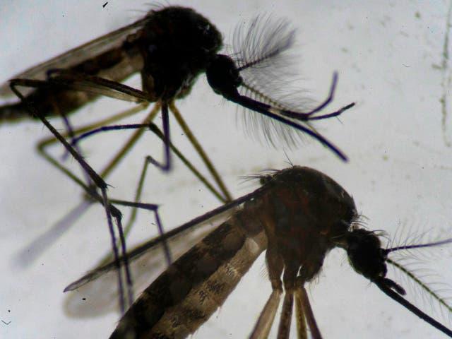 Un macho (arriba) y una hembra (abajo) mosquitos Aedes aegypti son vistos a través de un microscopio en el laboratorio de la Fundación Oswaldo Cruz en Río de Janeiro, Brasil, el 14 de agosto de 2019.