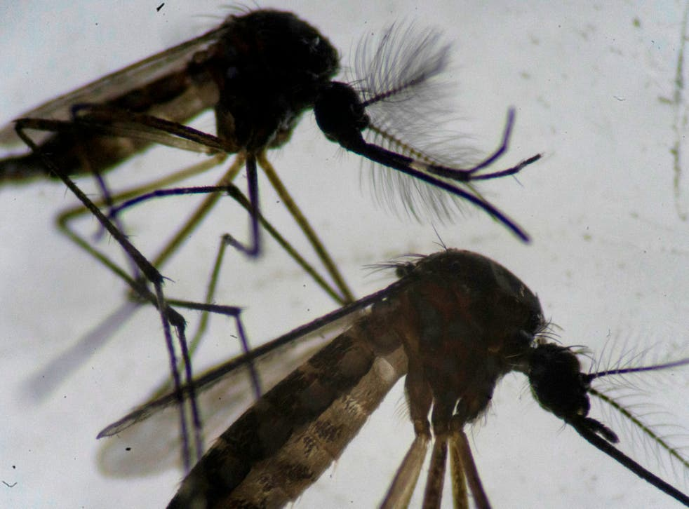 <p>A male (top) and a female (bottom) Aedes aegypti mosquitos are seen through a microscope at the Oswaldo Cruz Foundation laboratory in Rio de Janeiro, Brazil, on 14 August 2019</p>