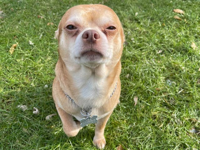 Prancer the Chihuahua gets adopted