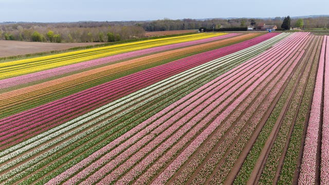 Millions of tulips in flower near King's Lynn in Norfolk, as Belmont Nurseries, the UK's largest commercial grower of outdoor tulips, offers socially-distanced visits to its tulip fields at Hillington to raise funds for local charity The Norfolk Hospice Tapping House