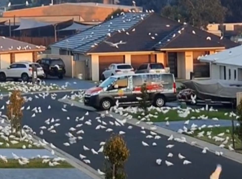 <p>Cockatoos overwhelmed the town in Australia</p>