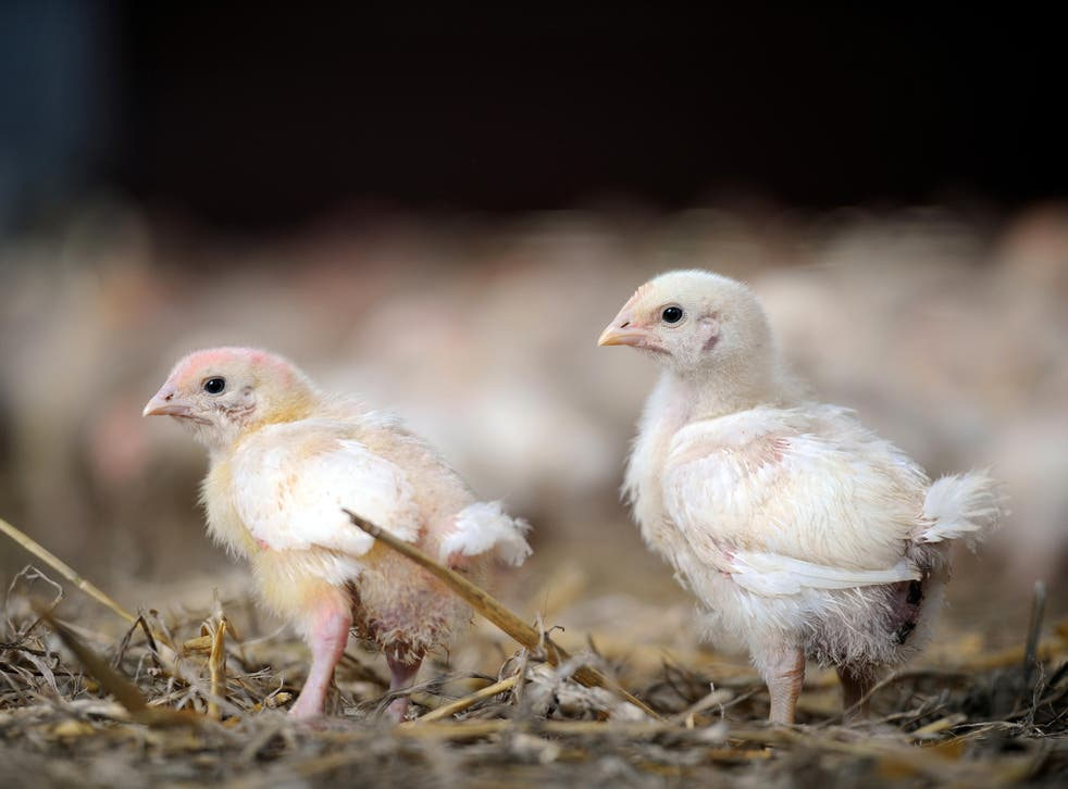 <p>The poultry industry has managed to keep a low profile while undergoing a massive expansion to supply all the supermarkets and fast food chains</p>