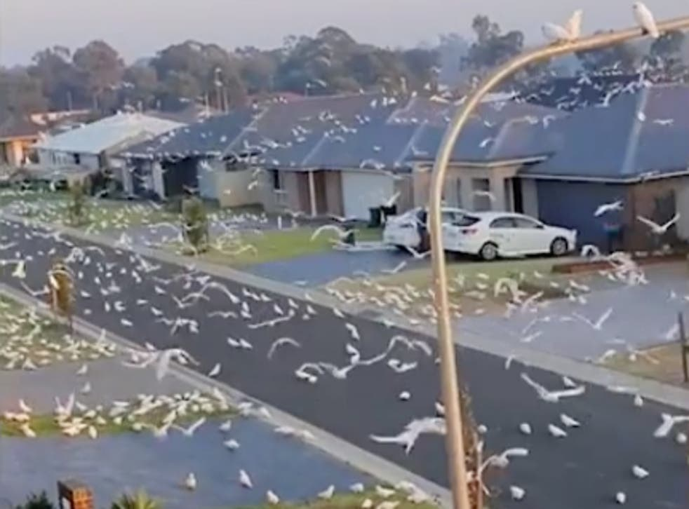 Thousands of corellas filmed taking over a suburban street in Nowra, New South Wales Australia