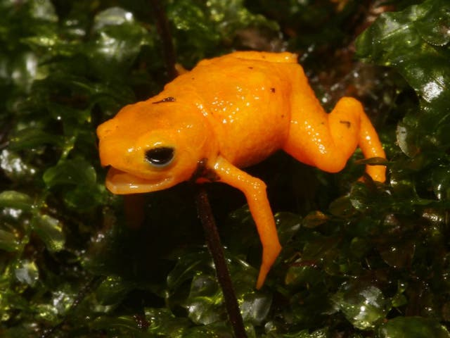 Pumpkin Toadlets are among some of the world's smallest frog species