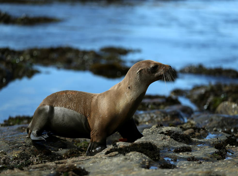 A California sea lion yearling walks towards the water after being released back into the wild by volunteers with The Marine Mammal Center on a beach at Point Lobos State Reserve on 10 July, 2019 in Carmel, California. California sea lions are more intelligent than their brain size might suggest.