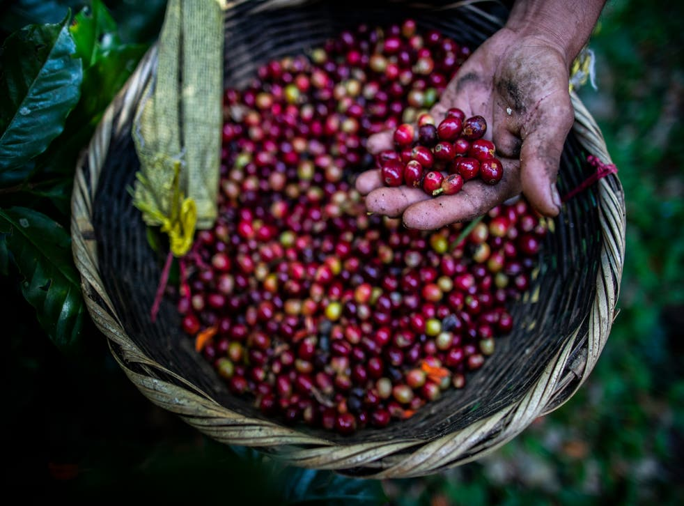 A coffee harvest worker shows coffee cherries recently collected at La Hammonia Coffee Farm