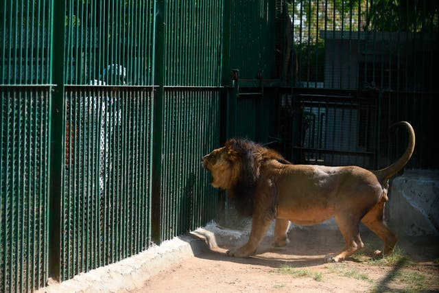 An Asiatic lion reacts as a worker of the Kamla Nehru Zoological Garden wearing protective gears sprays disinfectant during a government-imposed nationwide lockdown as a preventive measure against the spread of the coronavirus