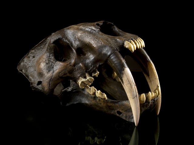 The newly recognised species was an ancient relative of one of the best-known prehistoric animals - the saber-toothed cat Smilodon, seen here