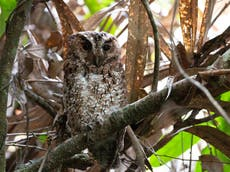 Rare owl species last seen in 1892 photographed for first time