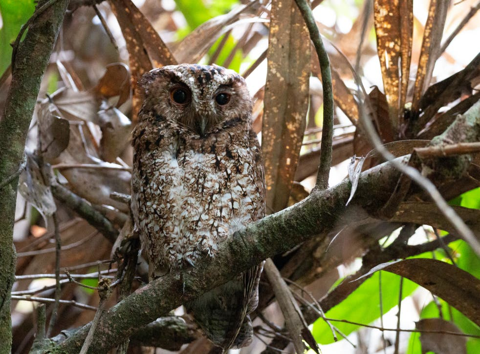 The first photograph of the Bornean Rajah scops owl in the wild
