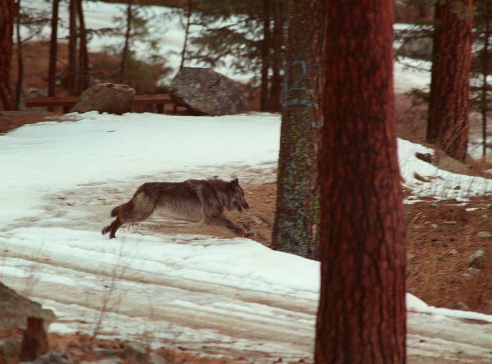 Wolf Killing Idaho