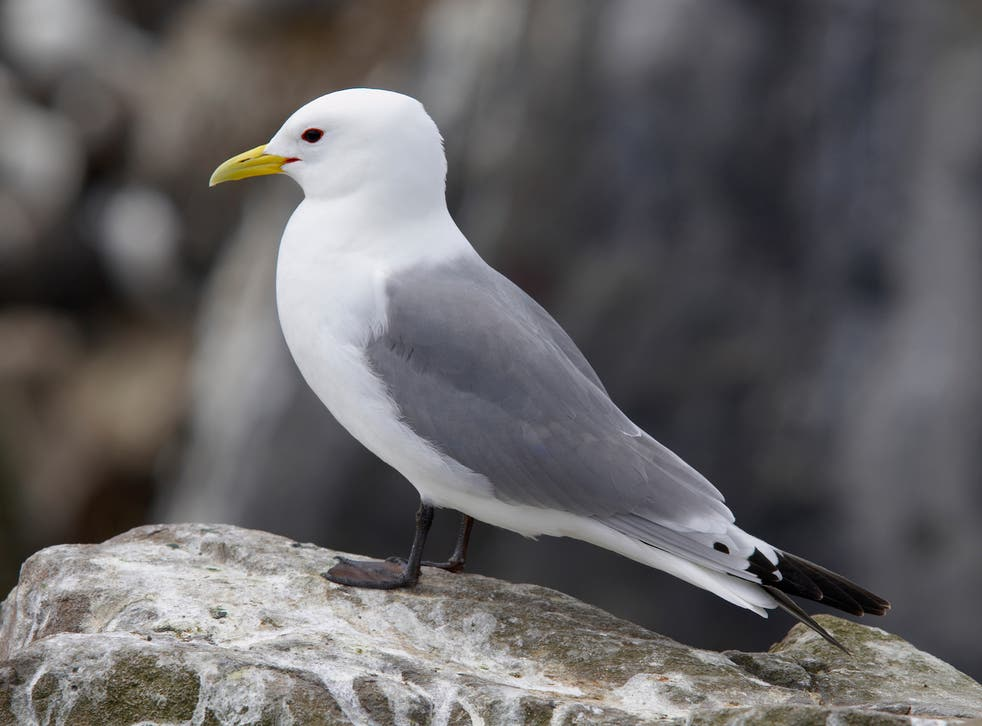 Kittiwake numbers have collapsed by 40 per cent globally since the 1970s, and Lowestoft is a key nesting area for the birds