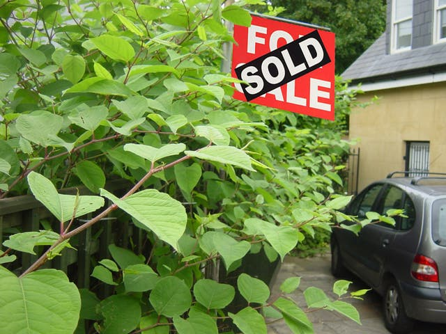 Japanese knotweed encroaching into a driveway