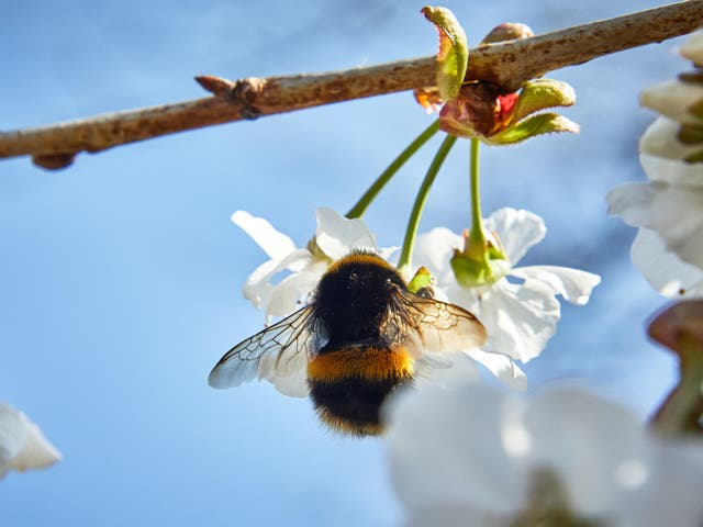 The biggest bees are up at the crack of dawn to find nectar, new research shows