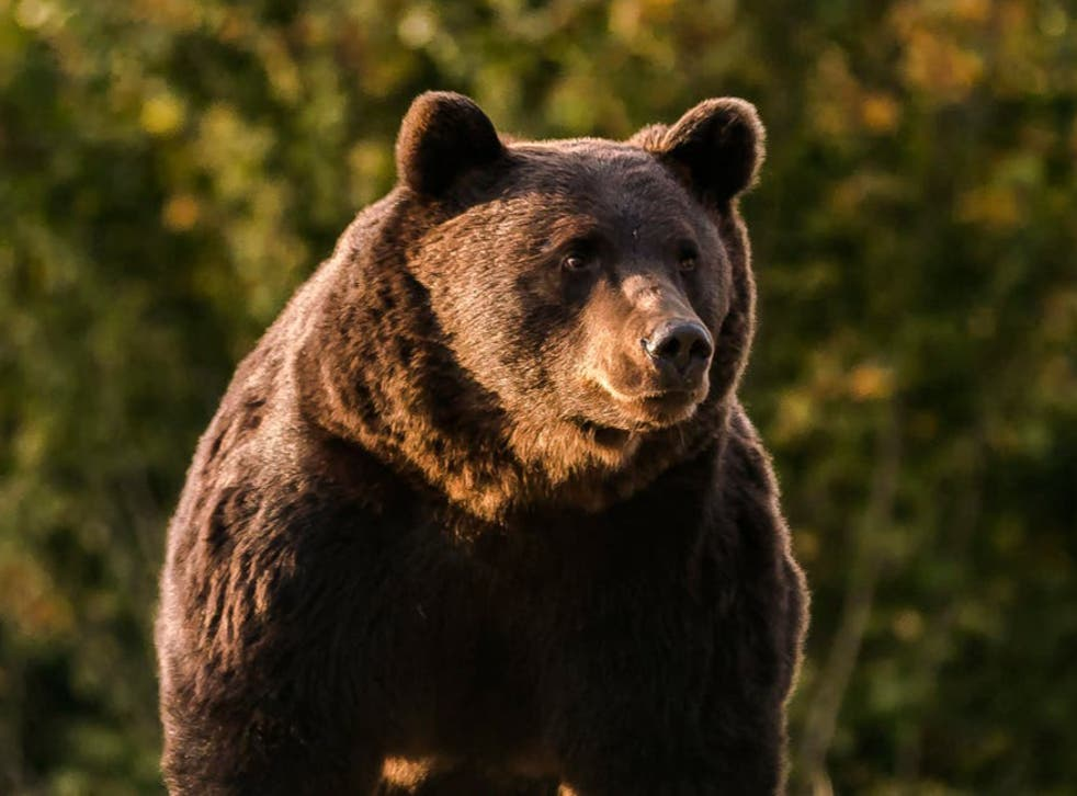 The 17-year-old bear, thought to be the largest in Romania, was killed last month