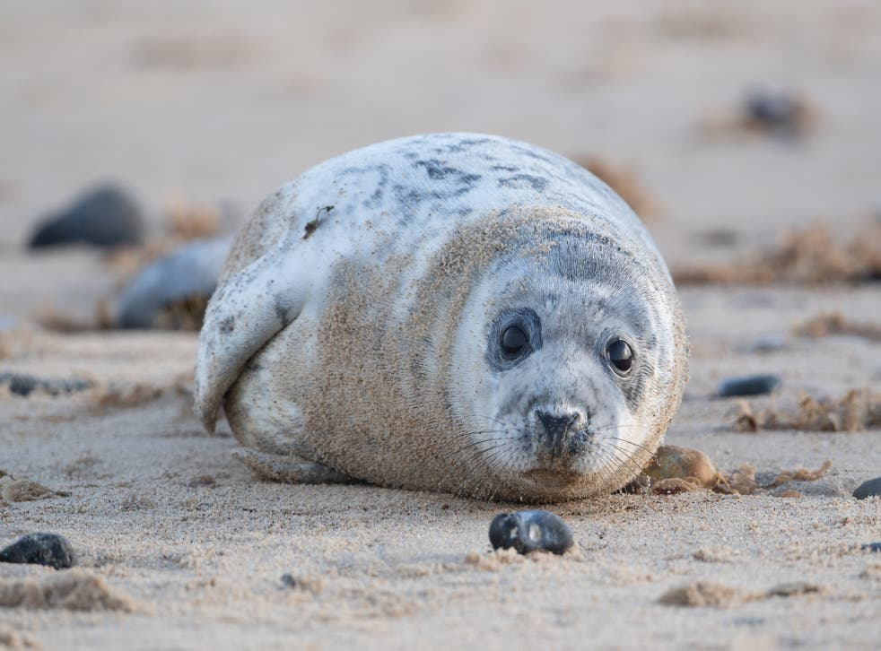 A grey seal pup on the beach