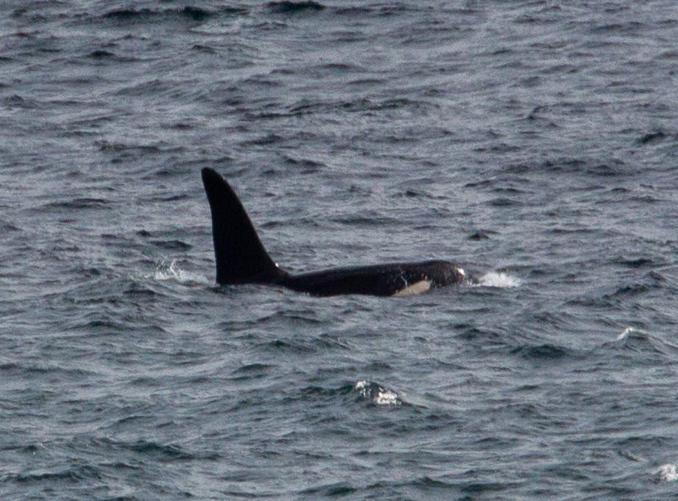 Killer whale Aquarius off the west coast of Cornwall
