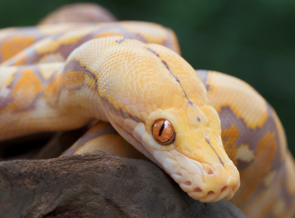 <p>The reticulated python is known to be an excellent swimmer</p>