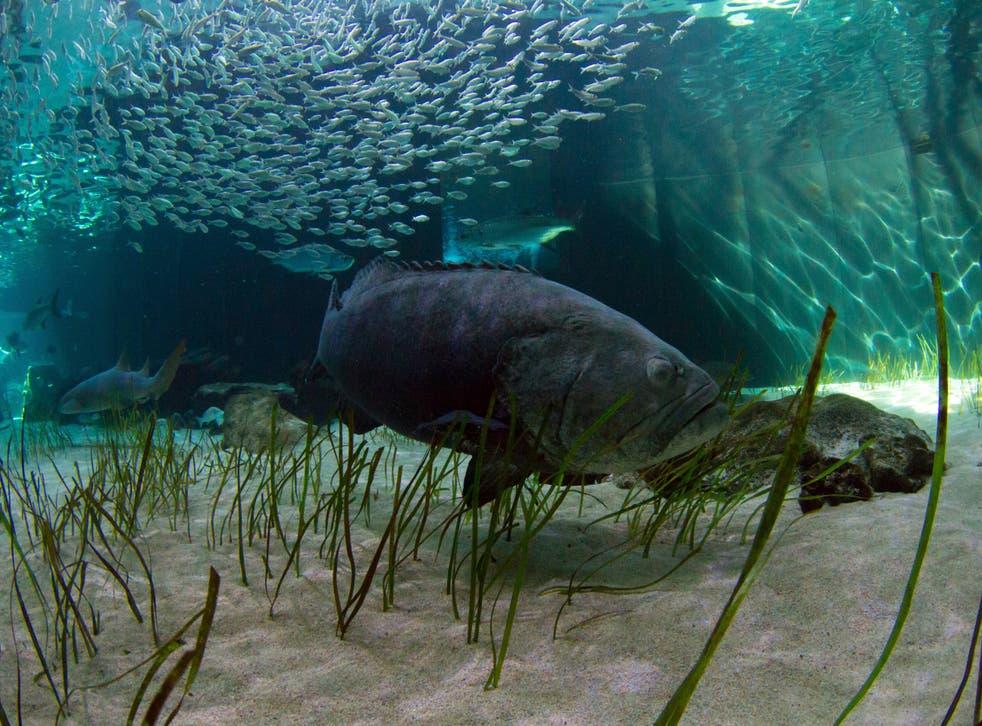Goliath Grouper Florida