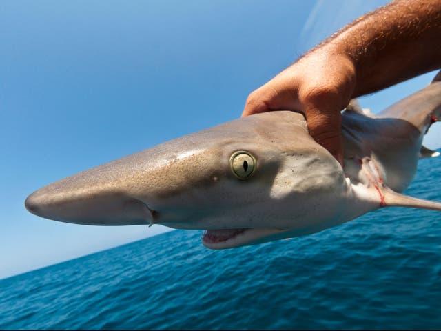 Decenas de miles de tiburones están siendo capturados ilegalmente en el Área Marina Protegida