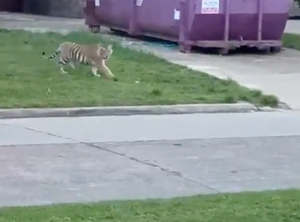 <p>A tiger was seen wondering a street causing people to call the police. </p>