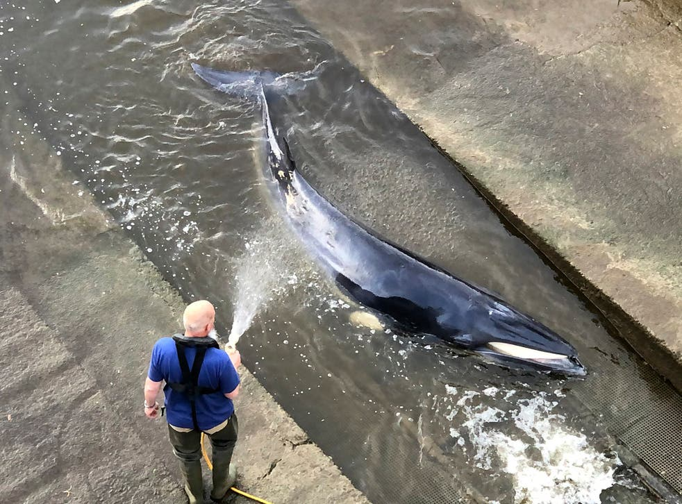 A man hoses down the young minke whale at Richmond Lock in London