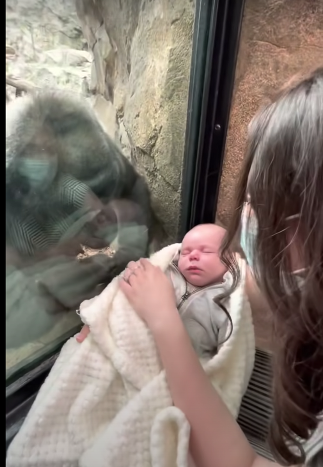 <p>Kiki, a gorilla at Franklin Zoo, tried to bond with a fellow mother and baby in a moving video</p>