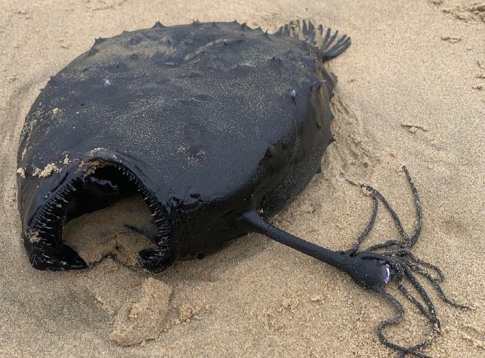 <p>This 'football fish' was on a California beach last week.</p>