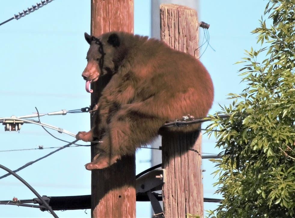 ODD Bear On Pole