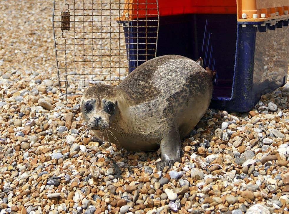 Injured seal released