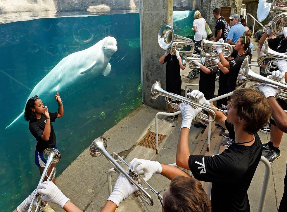Aquarium Belugas