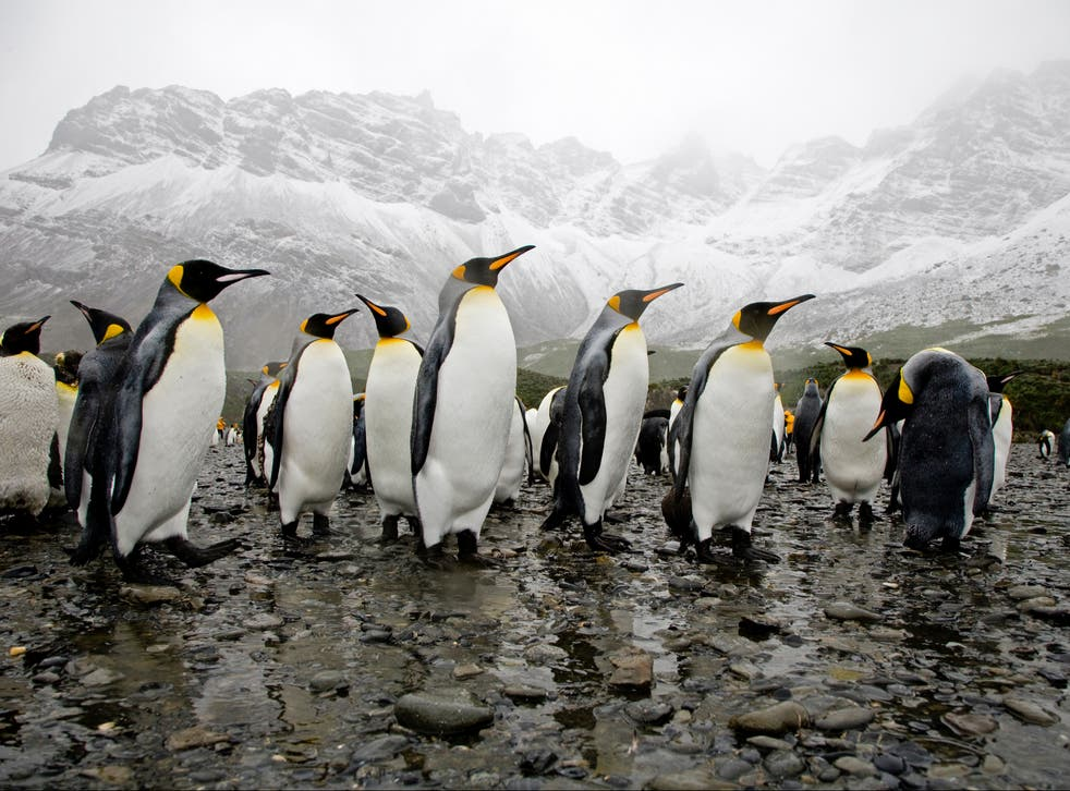 King penguins in the rain in Antarctica. If the ice sheet covering the continent retreats, it could rapidly become much warmer and wetter