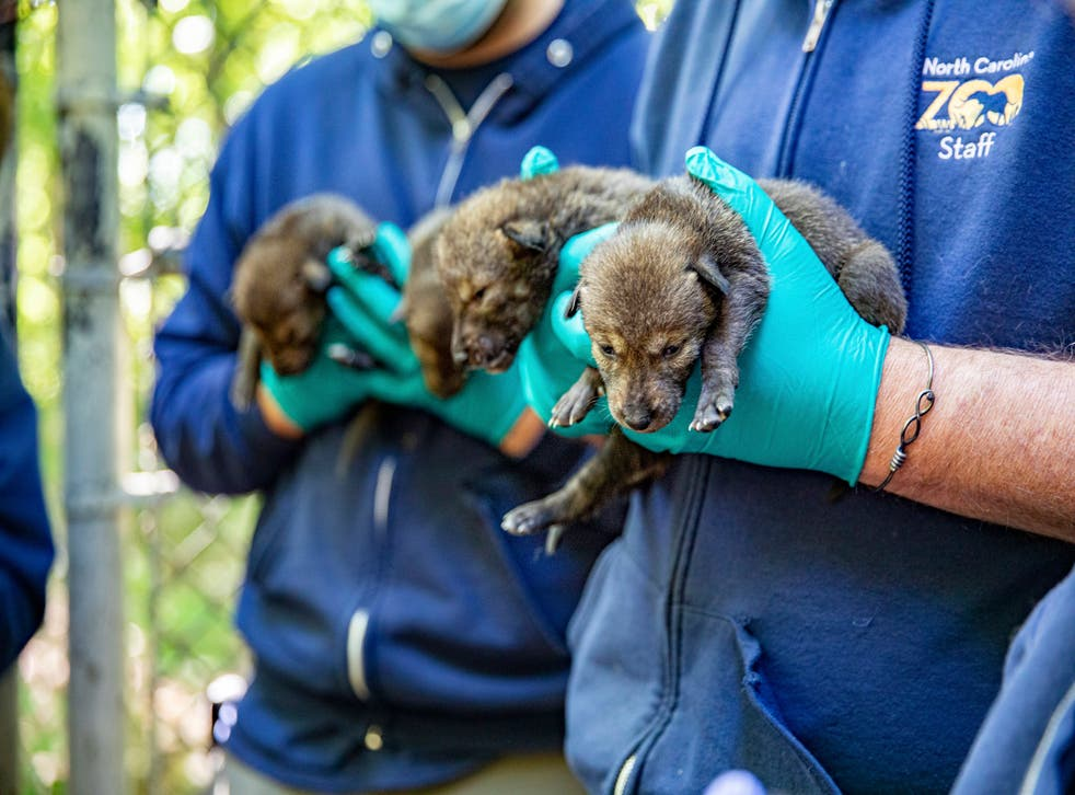 Zoo Red Wolves Born