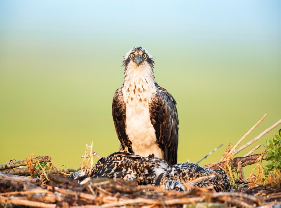 An osprey on its nest