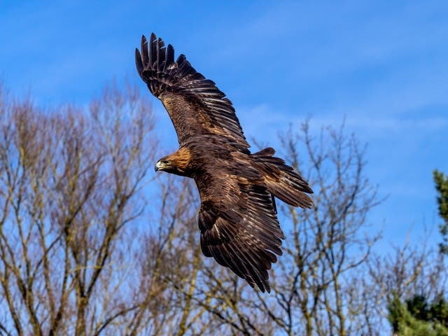 Golden eagles were wiped out in England by the mid 19th century due to widespread persecution