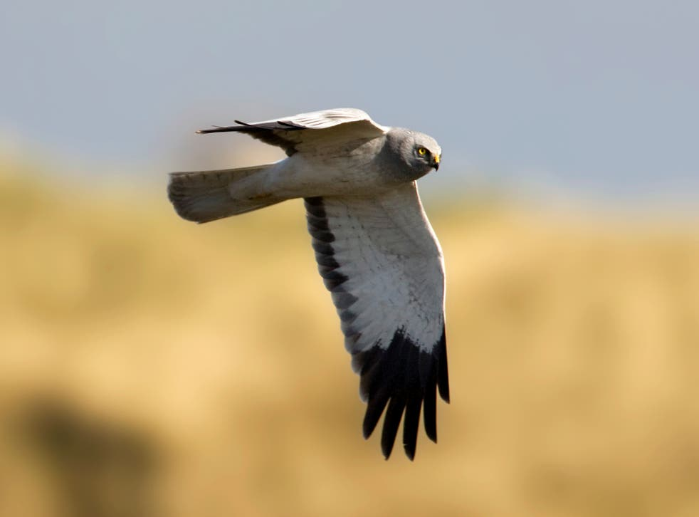A male hen harrier in the Netherlands. At least 56 hen harriers have been illegally killed or have disappeared in the UK since 2018