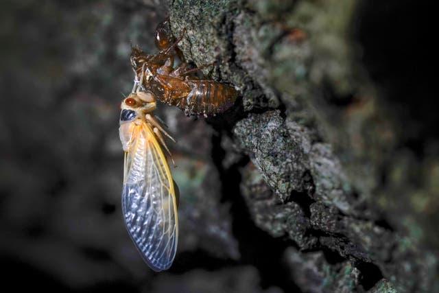 Food Eating Cicadas
