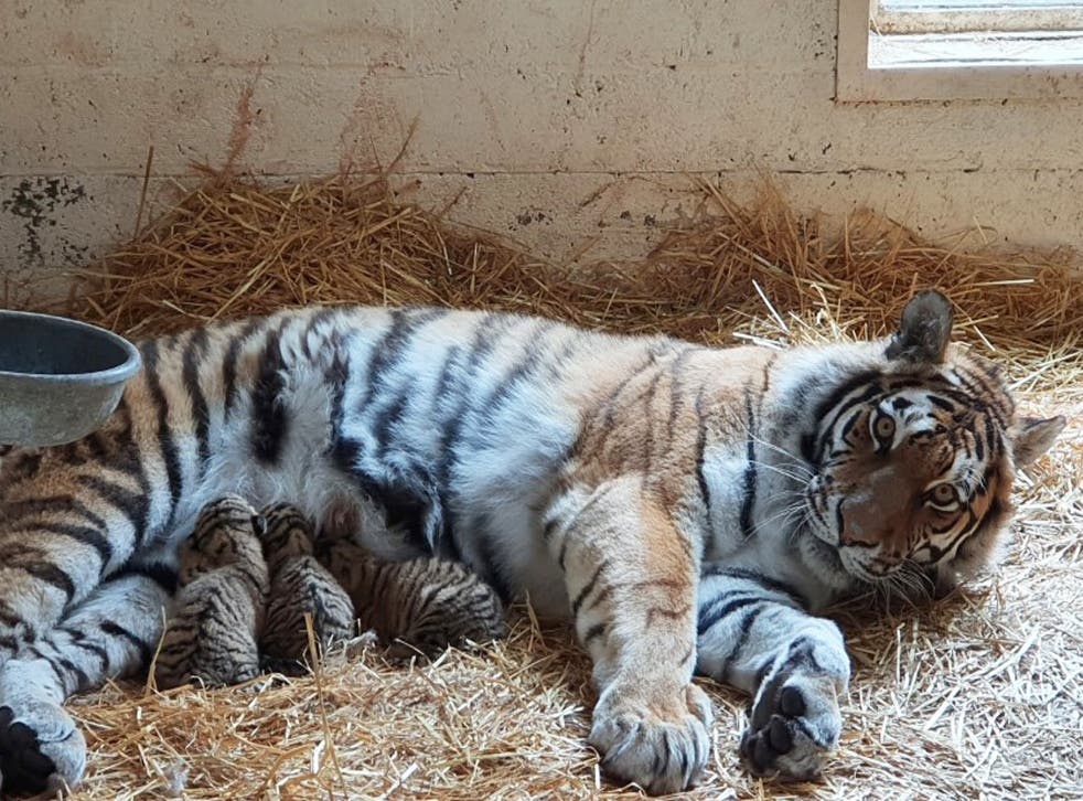 Mother and tiger cubs