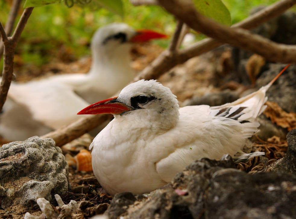 The experts hope to draw native red-tailed tropicbirds back to Mauritius