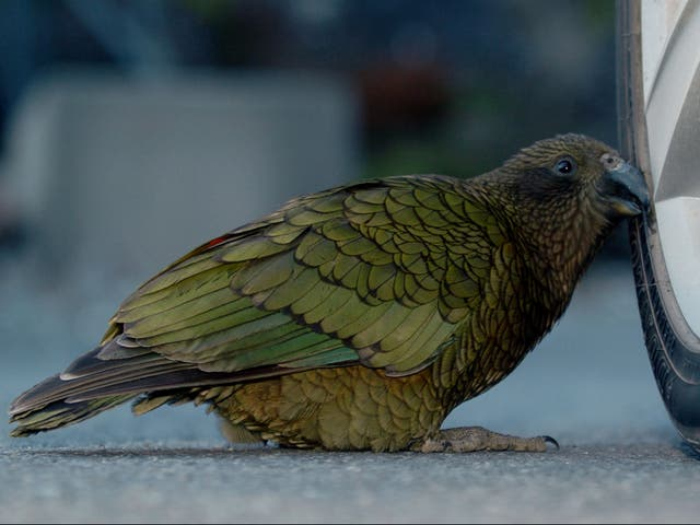 <p>A Kea (Nestor Notabilis) pecks at a car tyre in North Canterbury on the South Island of New Zealand</p>