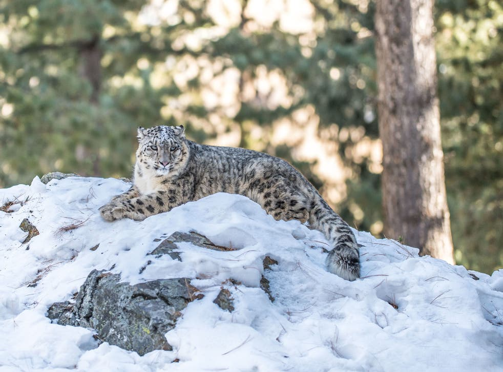 <p>Wildlife ranging from bluebells and bumblebees to snow leopards (pictured) and emperor penguins is under threat from climate change, say the WWF</p>