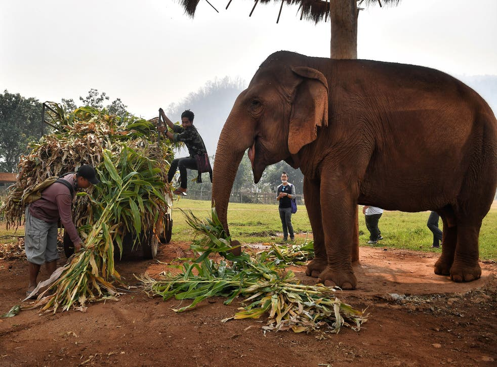 <p>Mahouts feed elephants rescued from the tourism and logging trade at the Elephant Nature Park in the northern Thai province of Chiang Mai </p>