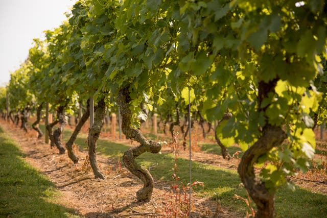 <p>Grape expectations: Chapel Down's vineyards in Kent</p>