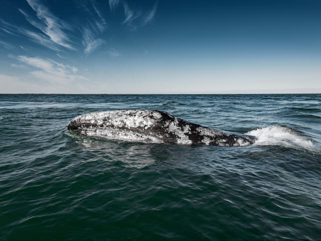 <p>The grey whale was unexpectedly sighted off the coast of Namibia in 2013</p>