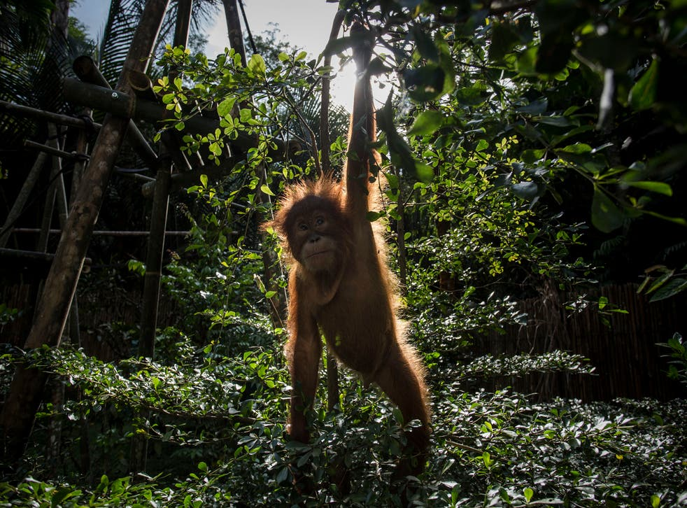 <p> Baby orangutan at the Sumatran Orangutan Conservation Programme. The dangers to nature and climate must be treated as one, scientists say</p>