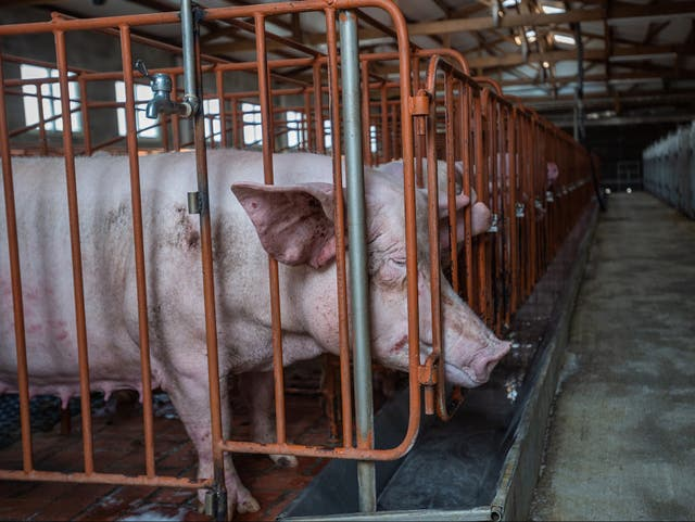 <p>Britain banned sow stalls 22 years ago but they are still widely used in other countries</p>