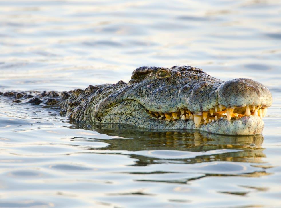 <p>The crocodile has earnt itself near-mythological status</p>